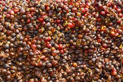 Pulp and outer skin of coffee bean were removed. After harvesting Stock Image