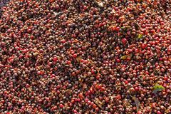 Pulp and outer skin of coffee bean were removed. After harvesting Royalty Free Stock Image