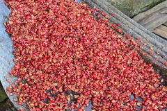 Pulping The Coffee Berry Royalty Free Stock Photos