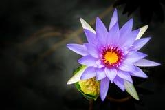 Pulple Lotus. On balck water Stock Photography