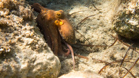 Pulpo común, mar Mediterráneo Fotos de archivo