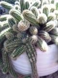 Pulpo de cactus Image stock