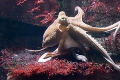 Pulpo en el mar Fotografía de archivo libre de regalías