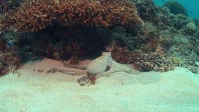 Pulpo en un arrecife de coral almacen de metraje de vídeo