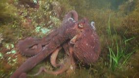 Pulpo grande en el fondo del mar de piedra en busca de la comida almacen de metraje de vídeo
