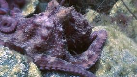 Pulpo grande en el fondo del mar de piedra en busca de la comida metrajes