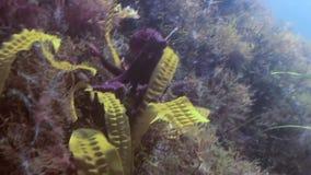 Pulpo grande en el fondo del mar de piedra en busca de la comida almacen de video