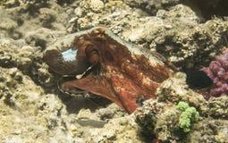 pulpo Marine Life en el Mar Rojo Egipto Imágenes de archivo libres de regalías