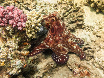 pulpo Marine Life en el Mar Rojo Egipto imagen de archivo libre de regalías