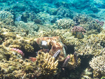 pulpo Marine Life en el Mar Rojo Egipto Fotografía de archivo