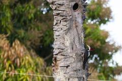Pulsación de corriente Carmesí-con cresta femenina que picotea en árbol muerto Imágenes de archivo libres de regalías
