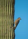 Pulsación de corriente del Gila que se aferra en un cactus Fotos de archivo