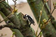 Pulsación de corriente encaramada en un árbol con su pico dentro de una rama gruesa imagenes de archivo