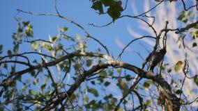 Pulsación de corriente grande de la curva en árbol metrajes
