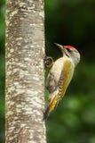 pulsación de corriente Gris-dirigida que se sienta en el tronco de árbol con el liquen amarillo, pájaro verde agradable, Alemania Fotos de archivo