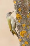 pulsación de corriente Gris-dirigida que se sienta en el tronco de árbol con el liquen amarillo, pájaro verde agradable, Suecia Fotografía de archivo libre de regalías