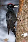 Pulsación de corriente negra (martius de Dryocopus) Imagenes de archivo