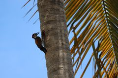Pulsación de corriente que picotea un árbol, pájaro de la pulsación de corriente fotos de archivo libres de regalías