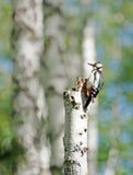 Pulsación de corriente que se sienta en un árbol de abedul viejo en el bosque Imagen de archivo