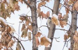 Pulsación de corriente suave que busca insectos en un árbol en el invierno 2 Fotos de archivo libres de regalías