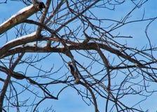 Pulsación de corriente suave que forrajea para la comida de un árbol estéril en el condado de DuPage, invierno de IL imagen de archivo libre de regalías