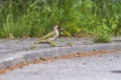 Pulsación de corriente verde (viridis del Picus) Foto de archivo libre de regalías