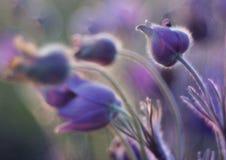 PulsatÃlla fleurit dans le pré dans le soleil de matin Image stock