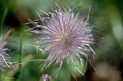 Pulsatilla, λιβάδι Anemone, Pasqueflower με τους ιώδεις σπόρους Στοκ Εικόνες
