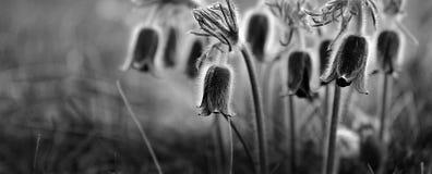 pulsatilla цветка предпосылки Стоковое Изображение RF
