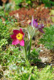 Pulsatilla Royalty Free Stock Image