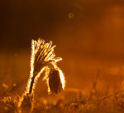 Pulsatilla. On the field after rain,with drops Stock Image