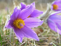 Pulsatilla Stock Photo