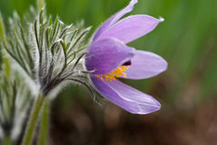 Pulsatilla Royalty Free Stock Photography