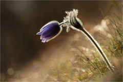 Pulsatilla. A beatiful pasque flower in light Stock Photography