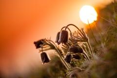 μαύρο pulsatilla Στοκ Εικόνα