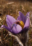 Pulsatilla Photo stock