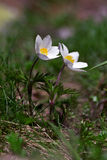 Pulsatilla alpina Stock Photo