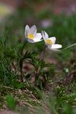 Pulsatilla alpina. Alpine pasqueflower or Alpine pasqueflower Stock Photo