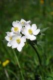 Pulsatilla Alpina, alpines pasqueflower Lizenzfreie Stockbilder