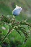 Pulsatilla Alpina, alpines pasqueflower Stockfotos