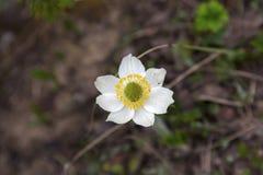 Pulsatilla alpina wysokogórski pasqueflower lub wysokogórskiego anemonu kwiat Obraz Royalty Free