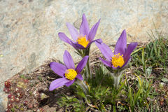 Pulsatilla alpino Halleri, el valle de Aosta, Italia de la flor Imagen de archivo