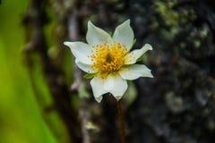 Pulsatilla Anemone blanche Στοκ Φωτογραφίες