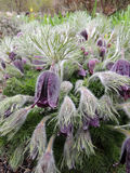 Pulsatilla Stock Photos
