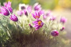 Purple flower in summer in the garden stock images