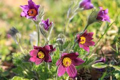 Pulsatilla Close-up da flor em botão Pasqueflower oriental, açafrão da pradaria, e flores roxas da anêmona do cutleaf cobertas co Imagens de Stock