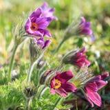 Pulsatilla Close-up da flor em botão Pasqueflower oriental, açafrão da pradaria, e flores roxas da anêmona do cutleaf cobertas co Fotografia de Stock Royalty Free
