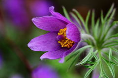 Pulsatilla. Easter flower on the meadow. Macro photography of nature Stock Photography