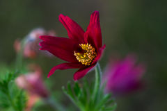 Pulsatilla. Easter flower on the meadow. Macro photography of nature Royalty Free Stock Photos