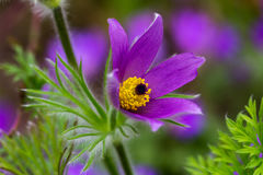 Pulsatilla. Easter flower on the meadow. Macro photography of nature Royalty Free Stock Photography